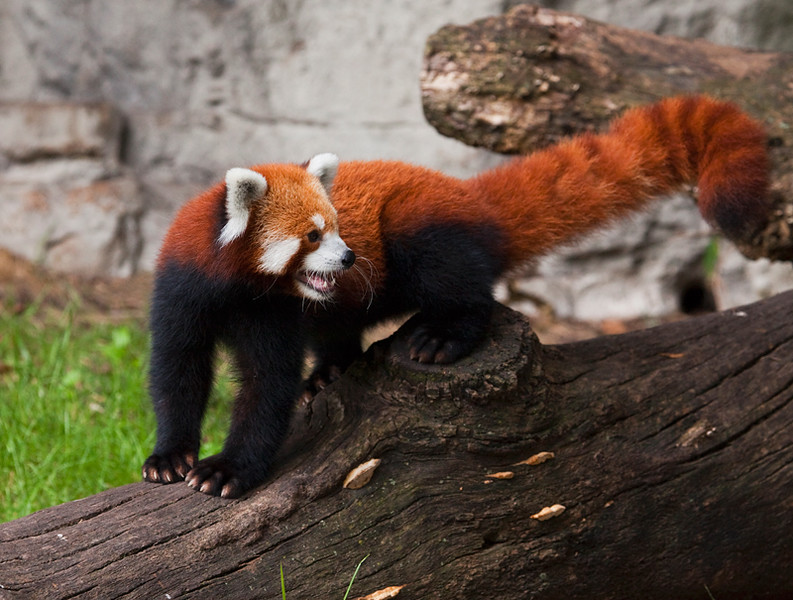 Red Panda on exhibit at the St. Louis Zoo