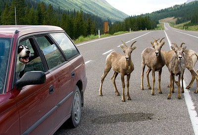 "Many of the photos on this site begin with ""I was taking my dogs out ...."".  This is Kavi in my car on Alberta Highway 40, near Highwood Pass.  As you can see, he's quite indifferent towards the sheep (and it's confusing them)."
