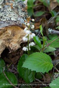 Shinleaf Wildflower