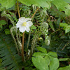 Mayapples Wildflowers and Young Ferns