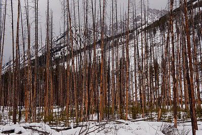 Forest Fire Timber