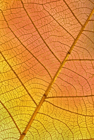 Leaf Abstract No.1