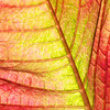 Poinsettia Leaf Abstract