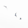 Makrellterne / Common Tern<br /> Linnesstranda, Lier 29.5.2018<br /> Canon 5D Mark IV + EF 500mm f/4L IS II USM + 1.4x Ext