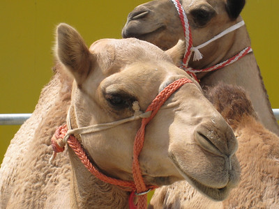 One of the contestants in the Camel Beauty Pageant.