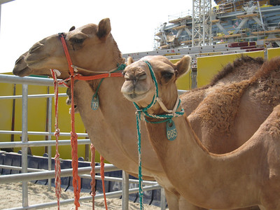 Some of the contestants in the Camel Beauty Pageant. So haughty!