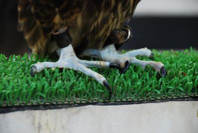 Falcon talons