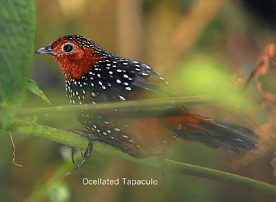 Target bird seen here. Uncommon but widespread in N Andes and a real skulker. (Internet picture.)