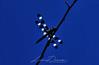 Twelve-Spotted Skimmer<br /> June, 2011