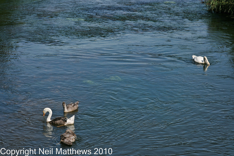 01 Sep 2010 - River Frome - Images kindly donated by Neil Matthews. Copyright Neil Matthews 2010<br /> This view shows the behaviour conundrum. The adult swan is completely relaxed with the Cygnets and the swan-like goose being in each others company. This would not normally be tolerated by adult swans unless there is some kind of affinity between these birds.