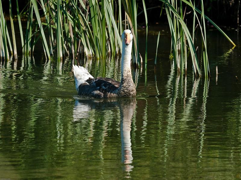 19 Aug 2009. Mute swan (Cygnus alor) + Gosling or Cygnet?<br /> River piddle, Dorset.