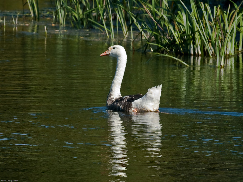 19 Aug 2009. Gosling or Cygnet?<br /> River piddle, Dorset.