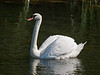 19 Aug 2009. Mute swan (Cygnus alor)<br /> River piddle, Dorset.