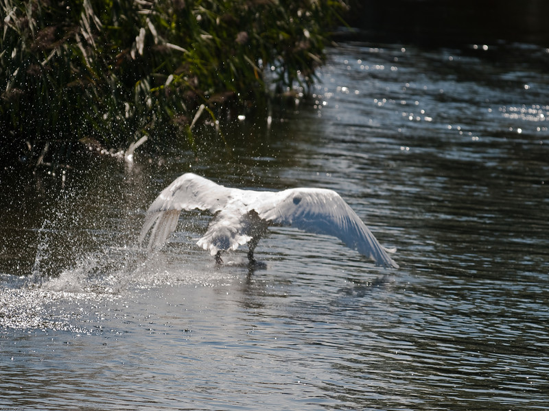 19 Aug 2009. Mute swan (Cygnus alor) <br /> River piddle, Dorset.