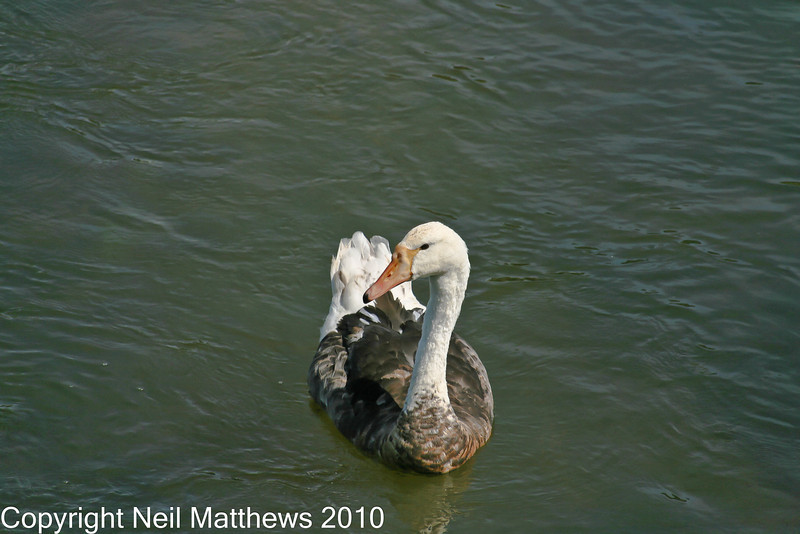 01 Sep 2010 - River Frome - Images kindly donated by Neil Matthews. Copyright Neil Matthews 2010<br /> This posture is very swan like. The length and shape of the bill are completely different to that of a goose.