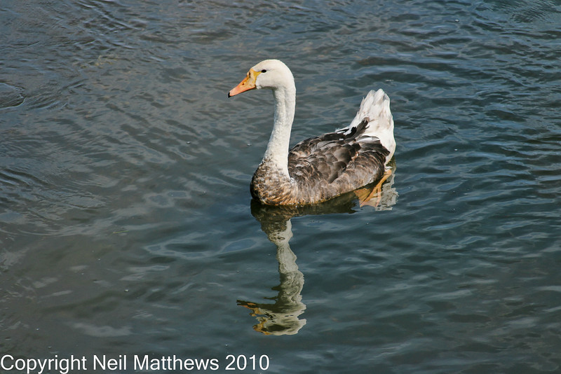 01 Sep 2010 - River Frome - Images kindly donated by Neil Matthews. Copyright Neil Matthews 2010<br /> This image shows both the goose-like (tail) and swan-like (bill, neck and feet) features of this bird.