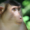 Monkey, Sabah, Malaysia
