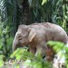 Pigmy elephant, Tabin, Sabah, Borneo