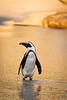 African penguin on the beach