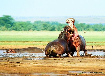 Angry Hippos, Lake Maynara, Tanzania