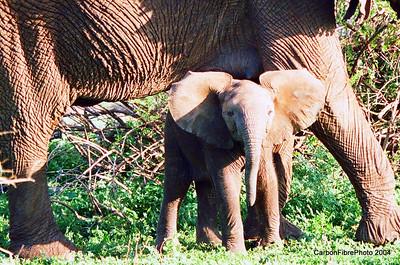 Brave Baby Elephant, Lake Maynara, Tanzania