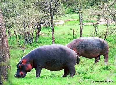 Hippos, Serengeti