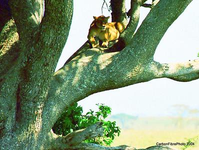 Shaded lioness, Serengeti