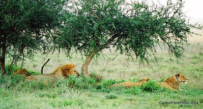 Simba family tracking game, Serengeti