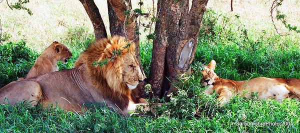 Simba family, Serengeti