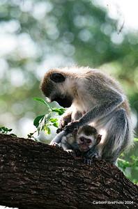 Mother grooming baby, Lake Maynara, Tanzania