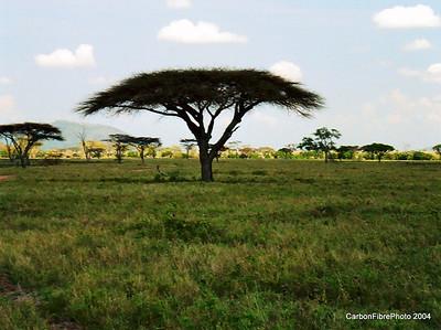 Acacia Trees, Serengeti