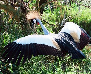 Crowned Crane, Lake Maynara, Tanzania