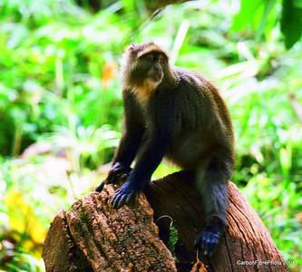 Blue Monkey, Lake Maynara, Tanzania