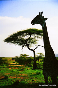 Giraffe silhouette, Acacia Tree silhouette, Laka Maynara, Tanzania
