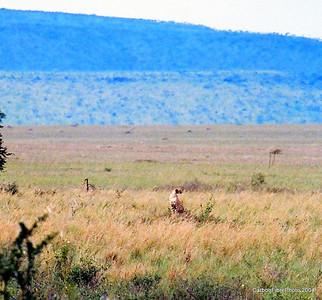 Cheetah, Serengeit