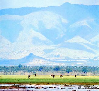 Wildebeest, Lake Maynara, Tanzania