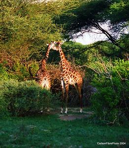Giraffes in brush, Lake Maynara, Tanzania