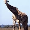 Giraffe at national park near Nairobi, Keyna.