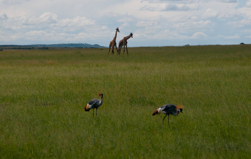 Crowned Cranes in foreground