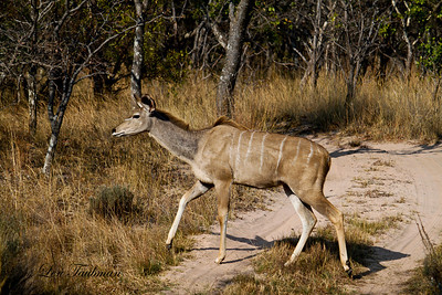 Female Kudu 2