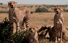 Cheetahs watching a herd of Antelope