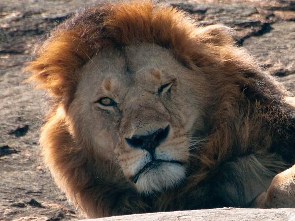 African Safari, Maasai Mara and Nairobi