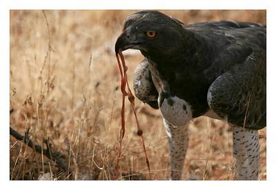 Aberderes : Tisserin de Speke mâle-Ploceus spekei-Speke's weaver
