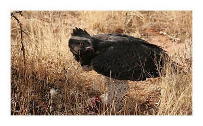 Aigle martial-Polemaetus bellicosus-Martial eagle