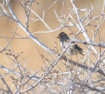 Aguirre Springs Recreation Area (BLM) Chipping Sparrow