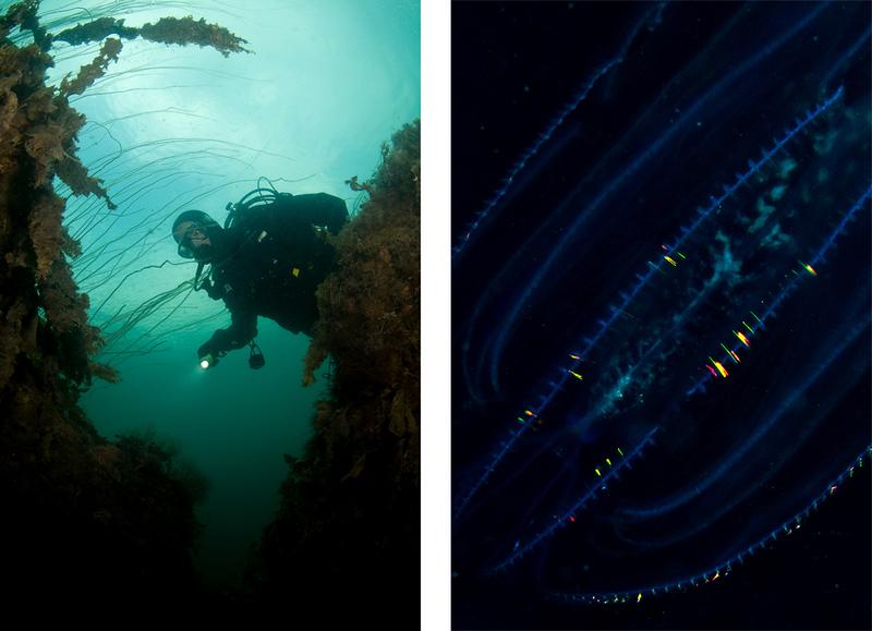 SM-GULD! - Svensk mästare i undervattensfotografering 2008<br /> <br /> Under helgen 22:a-24:e augusti avgjordes SM-finalen i undervattensfotografi. Efter en uttagstävling under våren (i form av en inskickningstävling) togs tolv finalister ut till finalen som avgjordes i vattnen kring Hamburgsund och Väderöarna. Dykarna fick tre dyk på vardera maximalt en timmes dyktid på sig att producera 9 stycken tävlingsbilder fördelade på tre stycken klasser; macro, vidvinkel och tema: ljus & ljussättning. Tobias tog, tillsammans med sin parkamrat och modell Henrik Bengtsander, hem totalsegern genom att ha hamnat på 5:e plats i makrokategorin, tagit bronsmedaljen i vidvinkel och guld i temaklassen. <br /> Ovan syns Tobias bäst placerade bild i vidvinkel samt guldbilden i temat ljus och ljussättning.
