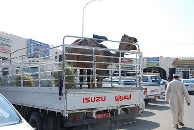 First stop was the souq in the small town of Sinaw.  These young camels were for sale.