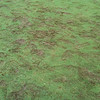 Footprints are enough to crush the grass in this wetness. Field 5.