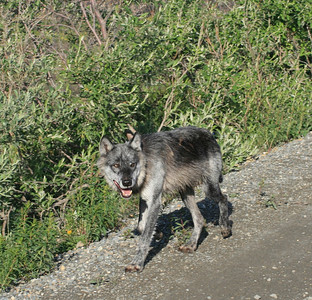 wolf in denali.....only 20 in 6 million acres