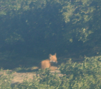 red fox from .5 mile away